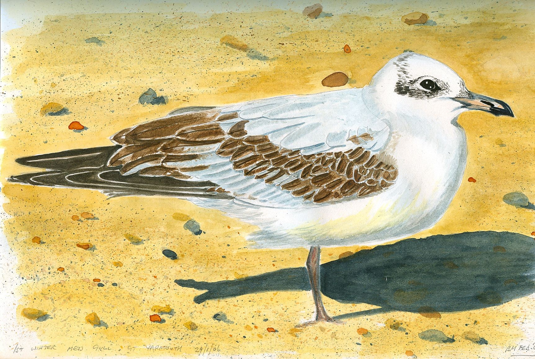 1st-winter-Med-Gull-Gt-Yarmouth