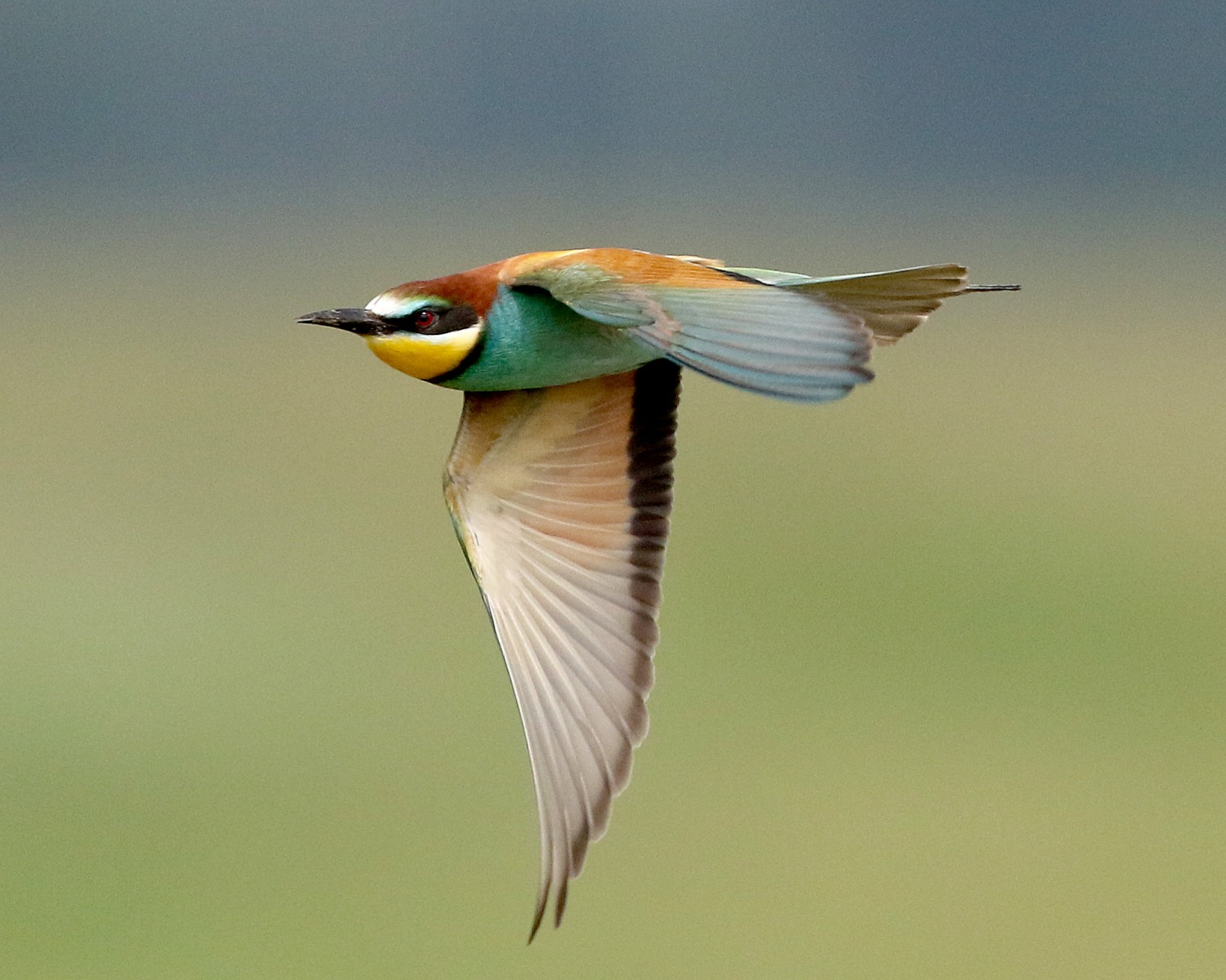 European Bee-eater - Hungary