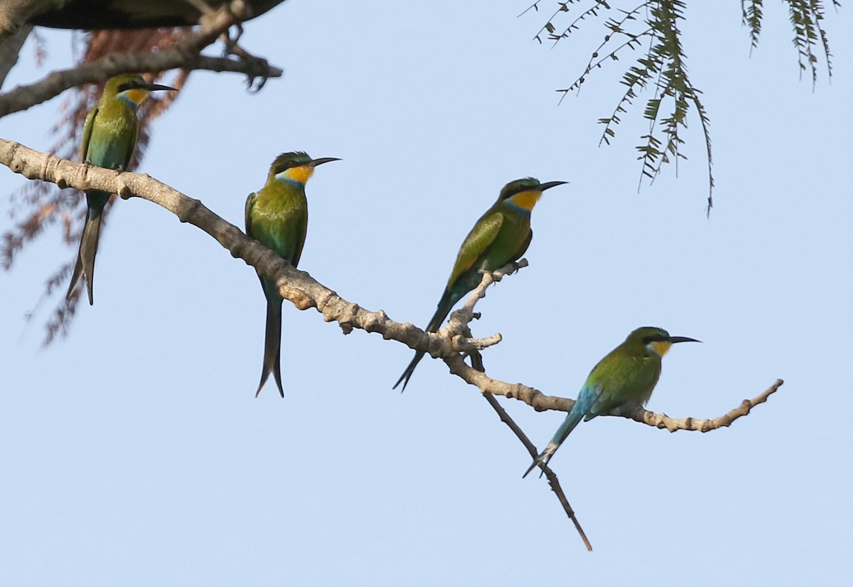 Swallow-tailed Bee-eaters- Gambia