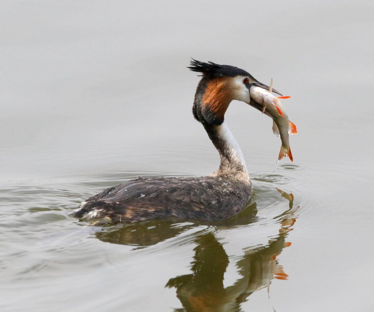 Great Crested Grebe - NWT Ranworth Broad, Norfolk