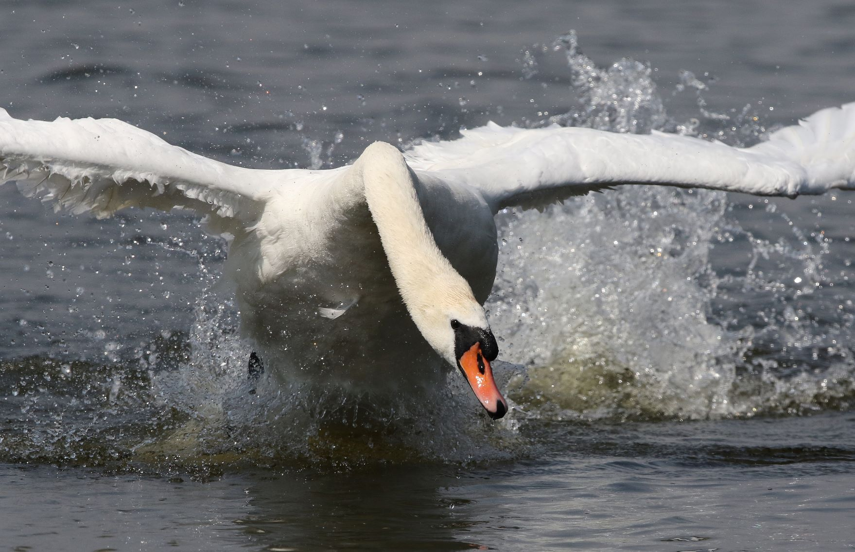 Mute Swan, NWT Ranworth Broad, Norfolk