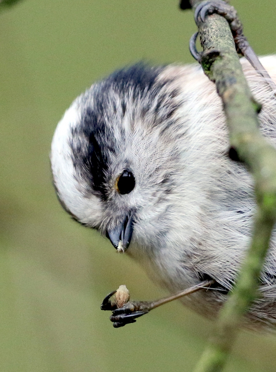 Long-tailed Tit - Sculthorpe Moor, Norfolk