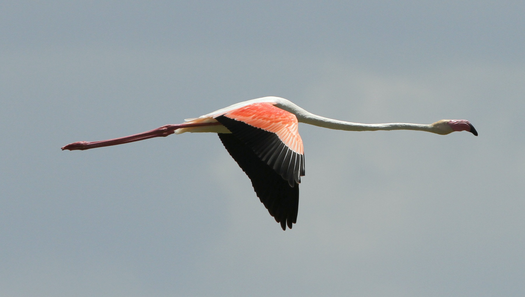 Greater Flamingo - Lake Elementaita, Kenya