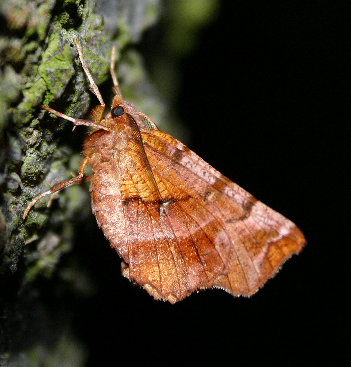 Early Thorn - Sprowston, Norfolk