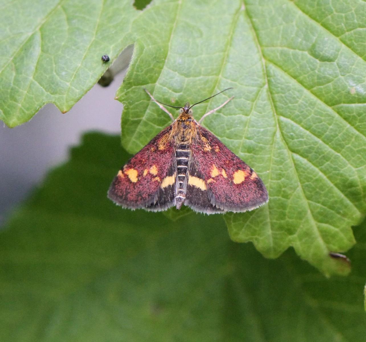 Pyrausta-purpuralis
