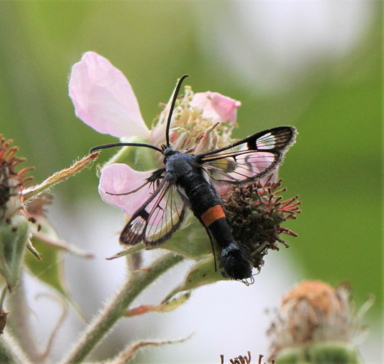 Red-belted-Clearwing